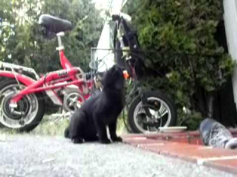 Super slo-mo Bearcat the manx super kitten training, Reach for the sky!