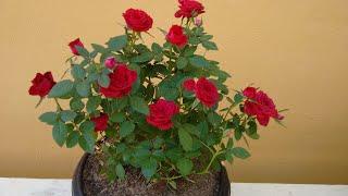Como Plantar e Cuidar da Mini Rosa em Vaso
