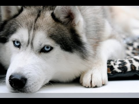 Спасение собаки хаски!!!
