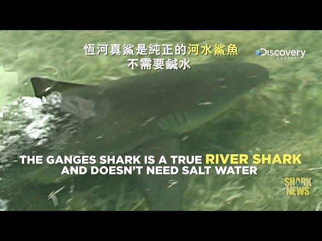 鯊魚週30週年特輯 Shark News : 恆河真鯊