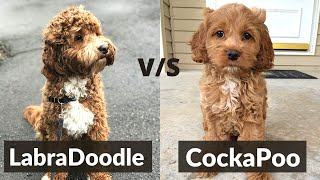 Labradoodle vs Cockapoo  Detailed Comparison Between the Two Mixed Breeds