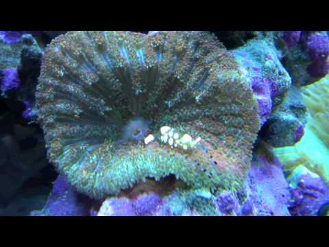 Spotted Anemone Shrimp
