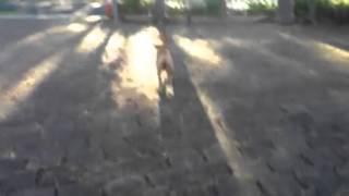 Puppy Shar Pei Cross Staffy