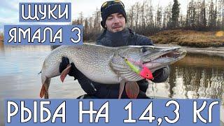 Огромная щука на спиннинг 14 кг! Поймал - отпустил. Monster pike fishing. DF 32