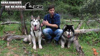 Malamute de Alaska (Alaskan malamute)  Mi raza favorita de perro, hablemos de ellos 