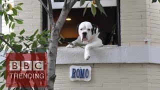 Romo the dog leaves his Washington window - #BBCtrending