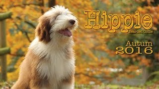 Bearded Collie Hippie Autum 2016