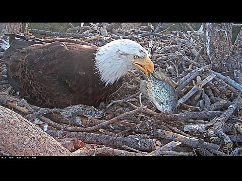 Big Bear Bald Eagles ..... Shadow Brings Live Fish To The Nest .... 4-25-2019