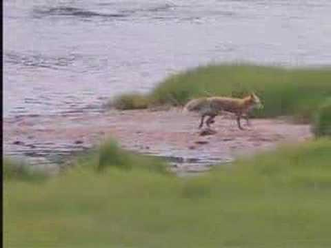Otis Meets The Fox