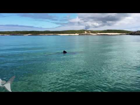 Basking shark feeding in clear Scottish waters