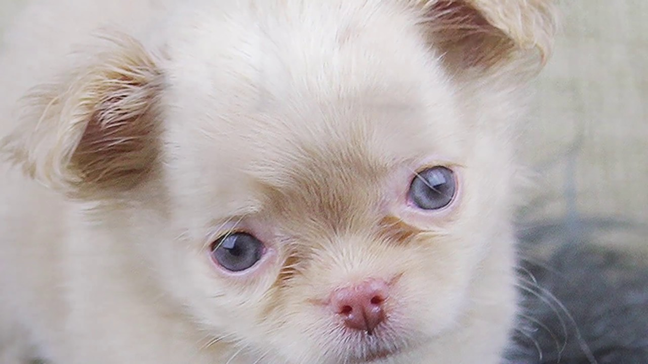 blue eyed chihuahua sully the blue eyed chihuahua puppy youtube 9895