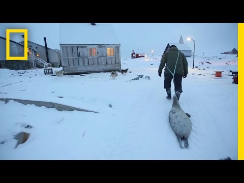 Meat Helped Inuits Survive for Generations | National Geographic
