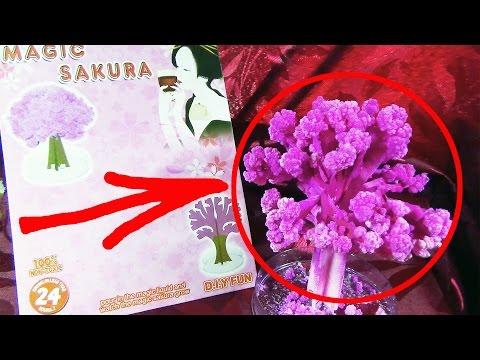 Волшебная сакура из Китая.Magic sakura.