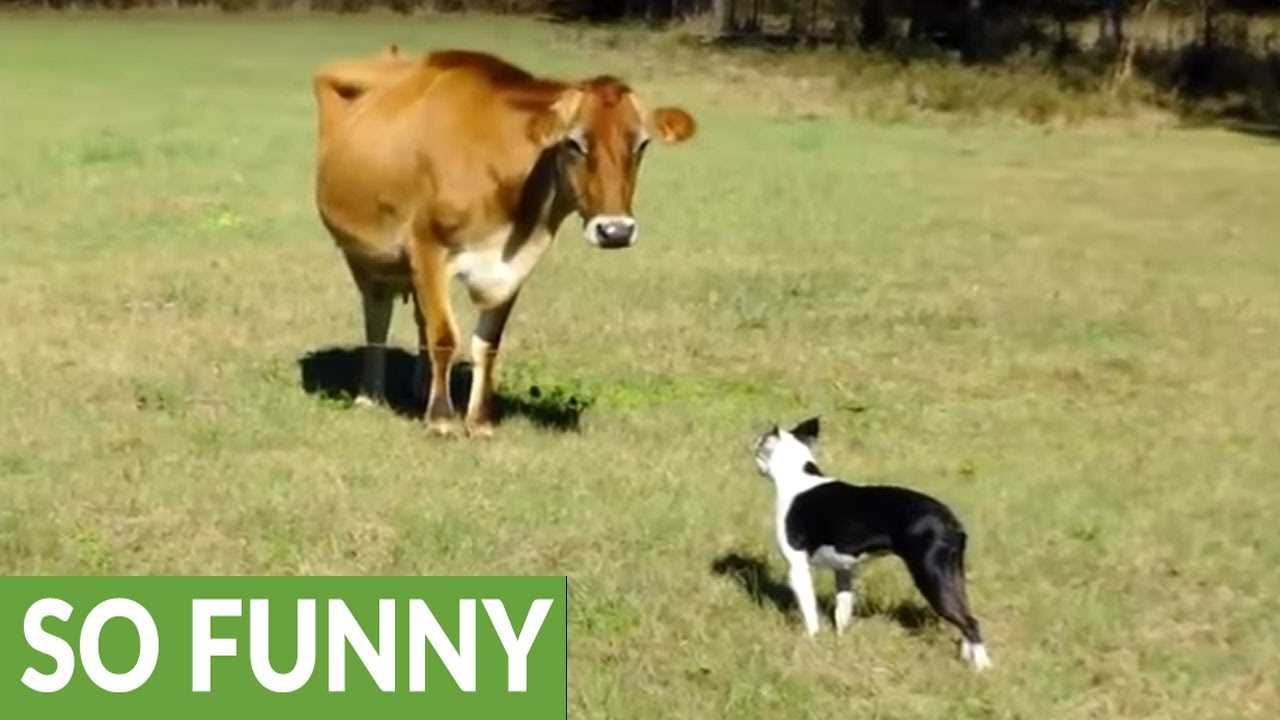 dog introduced to dairy cow unexpected playtime ensues youtube