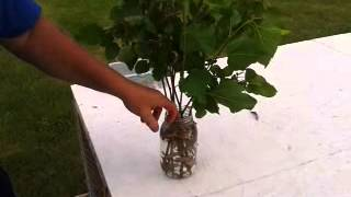 How to start a mulberry tree