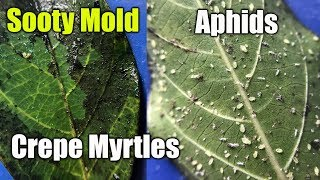 Kill Aphids and Mold on Plants and Crepe Mrytles