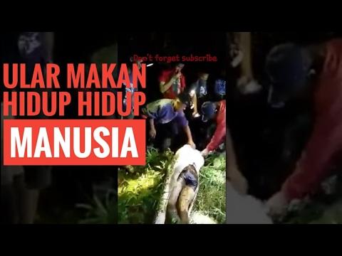 Ular Makan Manusia Hidup Hidup Di Salubiro Sulawesi Barat