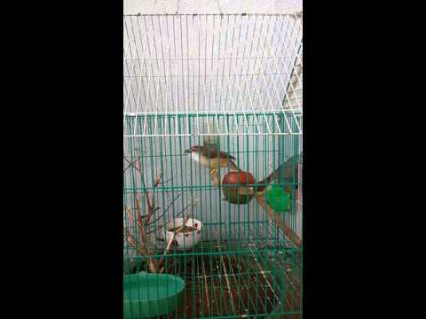 Tiếng chim Họa mi đất