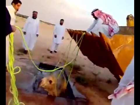 camel in saudi aria
