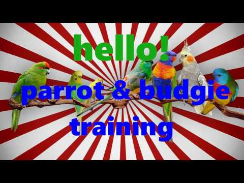 HELLO budgie how to training parrot and Budgerigar Easy speech training 1 HOURS