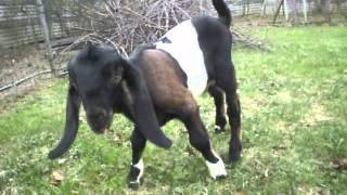 Jan-Serce 4 | www.koziebrody.com.pl | koza anglonubijska