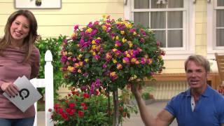 Cottage Farms Sun Kissed Rose Lantana Patio Tree with Alberti Popaj