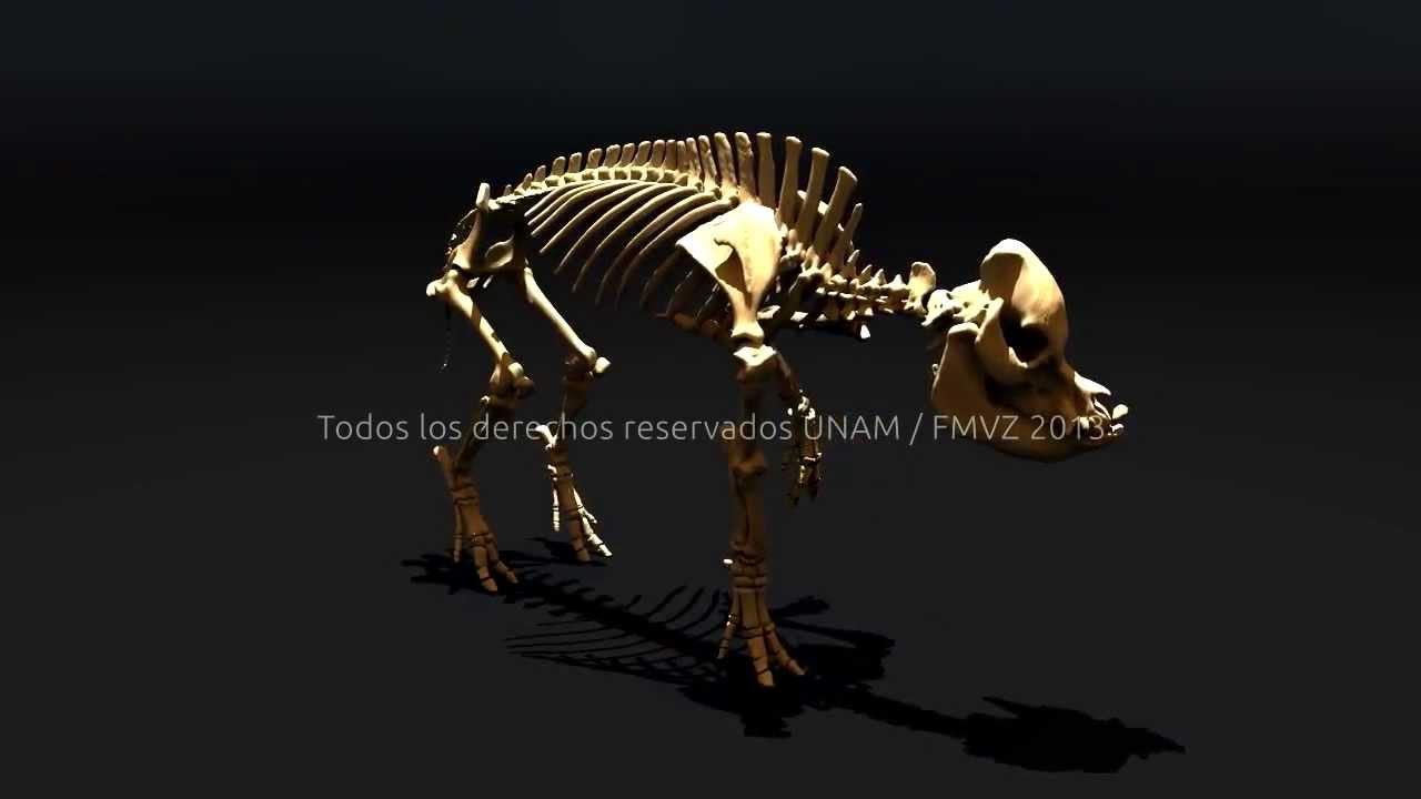 Cerdo Tridimensional, 3D pig, maya pig rigging, anatomía veterinaria ...