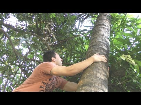 How To Climb A Coconut Tree (Filipino Survival Guide)