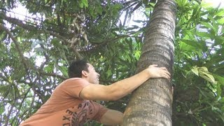 How To Climb A Coconut Tree (Filipino Survival Guide)