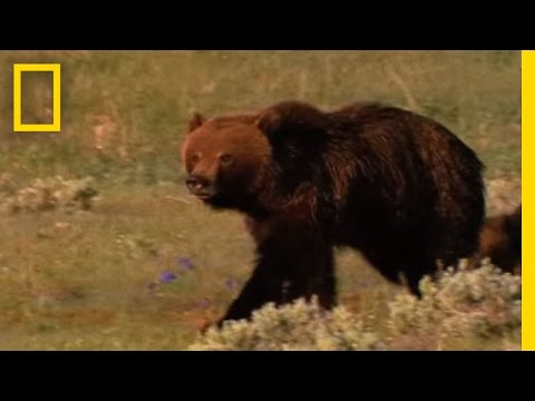 Grizzly Bears vs. Wolves in Yellowstone