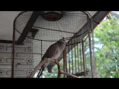 นกเขาขัน หลิ่วตัน ; spotted dove