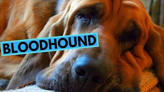 Bloodhound Dog Breed  TOP 10 Interesting Facts