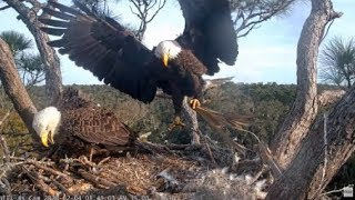 AEF-NEFL ~ Proud Parents-To-Be 💞 Samson Delivers Fish & Fluff! Gabrielle Lovingly Roll The Eggs!