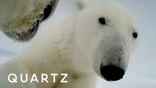 Polar bears are filming their own struggle to survive
