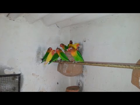 3 Best Lovebirds Colony With Progress