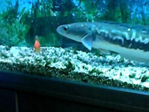 Super Giant Snake heads eat fish