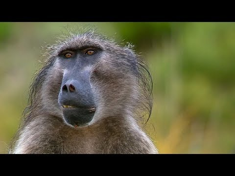 Sneaky Baboons Cause Mayhem For Crop Farmers - Animals with Cameras - Earth Unplugged