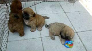 Shih Tzu Puppies Ga Fl Www.shihtzuga.netfirms.com