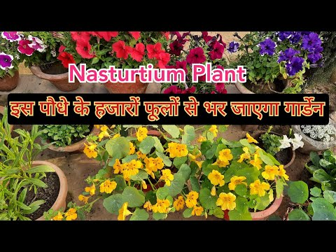 एक-साथ-आऐंगे-हजारों-फूल-तो-भर-जाएगा-गार्डेन-/-nasturtium-flower-/-nasturtium-plant