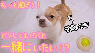 🐶ハウスが嫌で甘える可愛い子犬チワワを撮りたかったけどハウスが上手すぎて失敗した