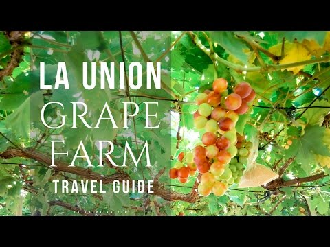 Grape Picking in Bauang, La Union