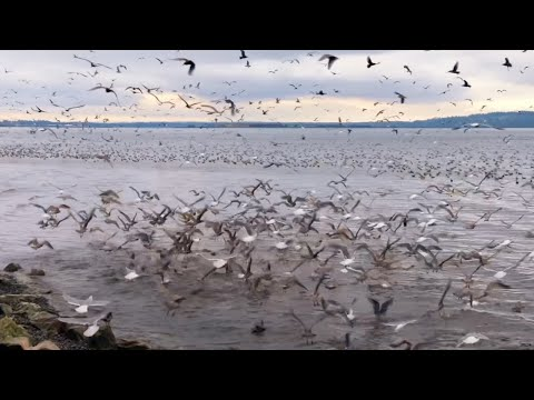 Rare Gathering: Sea Loins, Seagulls And Fishes In White Rock Pier