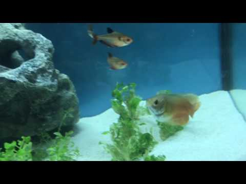 Dwarf Gourami Care And Facts