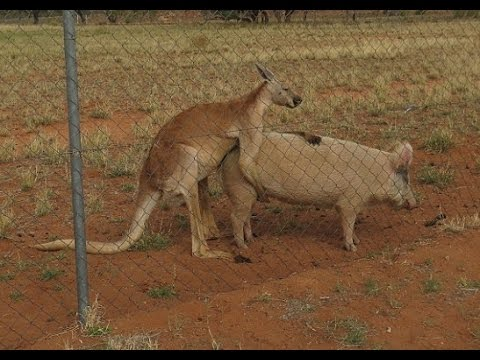 Man can with sex kangaroo