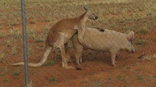 Kangaroo has sex with pig - that's Australia!