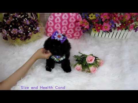 toy teacup teddybear poodle #486