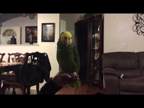 How to teach a double yellow head amazon parrot to talk