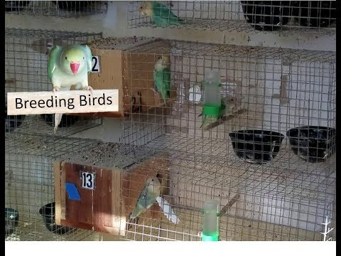 lovebirds Breeding Room