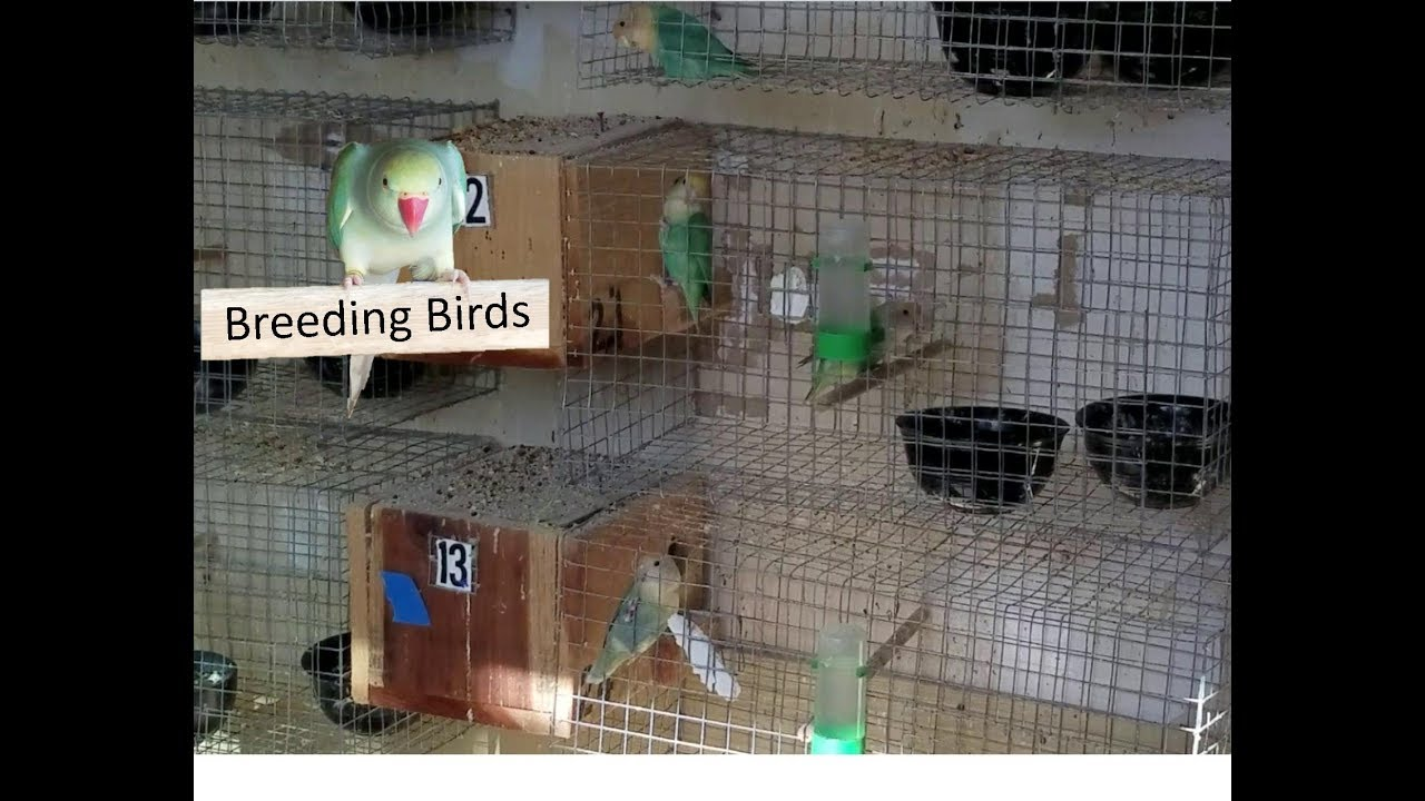 Facts About Lovebirds - thesprucepets.com