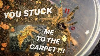TARANTULA very UNHAPPY after being STUCK in the CARPET !!!